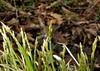 Carex bromoides (John Scholze) Tags: carex bromoides wisconsin wetland sedge