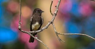 Black Phoebe  South Coast Botanic Garden Palos Verdes Pennisula California  169