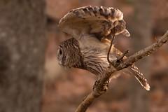 Barred owl ready for take off (laurenkarp1) Tags: fall beautiful flight birds bird raptor barredowl owl