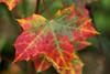 The Hectic Colors Of The Coming Death (gripspix (OFF)) Tags: 20171021 acer ahorn leaf blatt hecticcolors hektischefarben herbstfarben fallcolors herbstlaub fallleaf