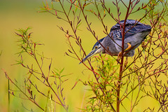 On the Hunt (miTsu-llaneous) Tags: butoridesstriata striatedheron bird animal wildlife heron overcast contrast colour nikon tamron trinidad caroni