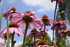 ''There is nothing insignificant in the world. It all depends on the point of view.''  Johann Wolfgang von Goethe (fdlscrmn) Tags: flora pink sky blue pov dof 7dwf echinacea