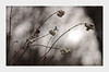 IMGP9839-1 (angel.doychinov) Tags: smc pentaxm 135mm pentaxart k5 bokeh nature manualfocus vintagelens