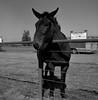 Escalon, CA (bingley0522) Tags: rolleiflexautomatmxevs carlzeisstessar75mmf35 yellowfilter trix diafine epsonv500scanner escalonca escalonlivestockmarket sanjoaquinvalley ruralcalifornia smalltowns mule autaut ordinarythings commonplacethings