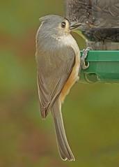Tufted Titmouse_3Nov2017 (Bob Vuxinic) Tags: bird tuftedtitmouse baeolophusbicolor clingingbirdtypefeeder cumberlandplateau crossvilletn 3nov2017