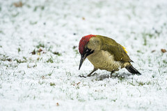 Back again [Explored] (belincs) Tags: 2017 december greenwoodpecker lincolnshire uk outdoors snow