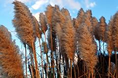 plumage (JonathanCohen) Tags: sunset landscape plant flora fall autumn natureycrap
