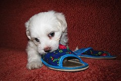 little rascal ;) (green_lover) Tags: puppy dog maltese fela dogs pets slippers