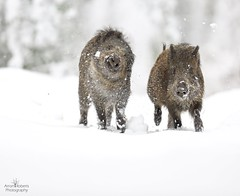 Boar in the snow (Arron Roberts Photography) Tags: british pig winterwatch springwatch cold winter uk canon snow nature wildlife boar wild
