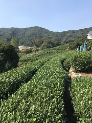 (prince igor the geniatic) Tags: hangzhou china teaplantation longjing