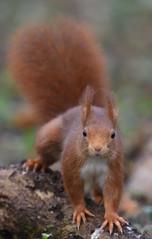 à vos marques, prêt ... shootez (guiguid45) Tags: nature sauvage animaux mammifères forêt loiret d810 nikon 500mmf4 écureuil eurasianredsquirrel écureuilroux squirrel affût