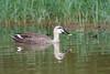 Eastern spot-billed duck (Anas zonorhyncha) (LauriusV) Tags: englisheasternspotbilledduck familyanatidae genusanas orderanseriformes speciesanaszonorhyncha kanazawashi ishikawaken japan jp
