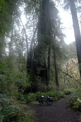 Spiral Tree (speed6ump) Tags: pan american highway 101 bicycle tour touring redwood state national park california spiral tree