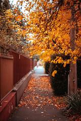 (•:*´¨`*:•.☆Diℓeyℓα ☆•:*´¨`*:•) Tags: nature rnifilm orangeleaf orange loveautumn hungary street autumn leaf tree city lookslikefilm grain focus dof nikon 50mm vscofilm