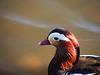 Mandarin duck (markb120) Tags: animal fauna bird fowl flyer flier beak bill pecker rostrum neb nib plumage feathering feather coverts coat dress water head eye wing mandarinduck