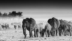 500_5414.jpg (Laurent LALLEMAND) Tags: masaïmara mammifères kenya elephantidae afrique proboscidiens eléphantdessavanes pluie continentsetpays eléphantidés loxodontaafricana animal africa ke ken