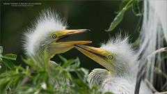 Great egret Chicks in Florida (Raymond J Barlow) Tags: florida nature bird egret raymondbarlow workshop phototours travel adventure