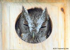 Soooo Sleeepy (Kaptured by Kala) Tags: garlandtexas pecantree backyard screechowlhouse owlhouse easternscreechowl screechowl owl raptor predator closeup lookingatme abovemyhead smallowl megascopsasio lifer sleepy