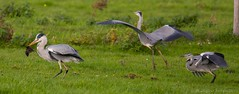 Blauwe Reiger - Grey Heron - Ardea cinerea (H.Rigters) Tags: nikkor300mmf4 nikond600 nikon rat muskusrat birds bird vogels vogel reiger blauwereiger grey heron greyheron ardeacinerea