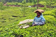India - Kerala - Munnar - Tea Harvesting - 142 (asienman) Tags: india kerala munnar teaplantagen asienmanphotography