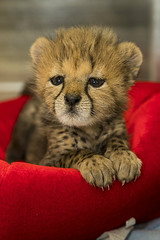 Four Pounds of Fuzz (San Diego Zoo Global) Tags: sandiegozooglobal©2016 animals nature wildlife baby cheetah cub kitten cute sandiego conservation safaripark