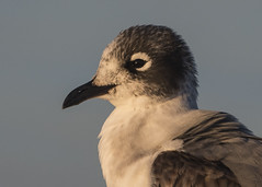 Franklin's Gull (PeterBrannon) Tags: bird florda florida franklinsgull gull leucophaeuspipixcan nature sarasota westcoast wildlife
