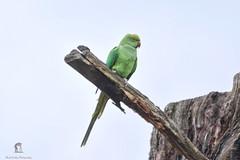 GREEN PARAKEET - BUSHY PARK (mark_rutley) Tags: bushypark parrot bird birds wildlife ukwildlife britishbirds parakeet