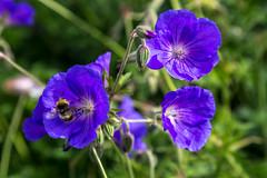 IMG_4015.jpg (Oliver O'Neill) Tags: blue flowers bee nature flower petal blossom petals purple london england unitedkingdom gb