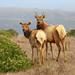 Male and Female Tule Elk (ashockenberry) Tags: elk antlers nature wildlife point reyes