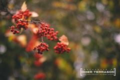 Flowers - 181 (oterrason) Tags: velvia fujifilm xpro2 flowers leaves bokeh tree berries garden yard front lawn frontyard autumn fall kenmore fujinon10cmf2ltm m39 macroextensiontube mcex11 ltmtomadapter mmountadapter adaptedlens classiclens vintagelens