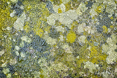LICHEN 2 (Nigel Bewley) Tags: lichen pattern texture green abstract stmarys stmarythevirgin church coe placeofworship history heritage cemetery graveyard churchyard graves gothic victorian perivale ealing london uk londonist unlimitedphotos november november2017 nigelbewley photologo