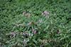 CKuchem-6703 (christine_kuchem) Tags: ackerblumen bach blühstreifen blüte blüten feldblumen natur naturschutz neophyt pflanze springkraut sumpf ufer uferpflanzen wiese wiesenblume wildblumen drüsiges eingewandert gewässer naturnah rosa