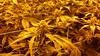 20150512_094914 (CannaPsy) Tags: hydroponics flood drain indoor medical cannabis marijuana weed horticulture high pressure sodium hps og