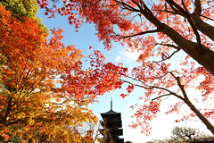 Welcome to Kyoto (Teruhide Tomori) Tags: 東寺 京都 洛南 日本 もみじ 紅葉 秋 庭園 五重塔 教王護国寺 古寺 afternoon kyoto japan japon toji pagoda garden autumn momiji kayedemaple architecture construction temple tree red sky