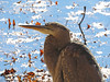 IMG_0050b (Naturecamhd) Tags: canonpowershotsx60hs sx60hs greatblueheron newyorkbotanicalgarden nybg botanicalgarden bronx thebronx birding nature wildife heron green eco twinlakes