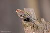 Fringuello _003 (Rolando CRINITI) Tags: fringuello uccelli uccello birds ornitologia cisliano natura