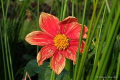 Late autumn flowers (Sockenhummel) Tags: britzergarten grünberlin herbst fuji x30 dahlien dahlienfeuer dahlia blüten blumen autumn fall park garten november
