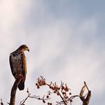 Juvenile Bald eagle thumbnail