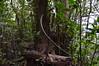 DSC_9523 (GaboHQ) Tags: anaga taganana forest laurelforest hike reservadelabiosfera biospherereserve cloudforest flora bosque bosquedelaurisilva laurisilvahúmeda laurisilvaseca canaryislands tenerife vueltasdetaganana sendero trail autumn