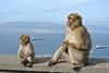 Singes de Gibraltar (francisaubry) Tags: singe gibraltar nikon nikkor espagne