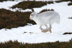 Mountain hare runner (blootoonloon1( No to Badger Cull)) Tags: mountainhare running hare white snow winter highlands cairngorms scotland nationalpark wildlife animal nature movement