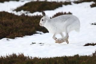 Mountain hare runner