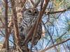 Area birds 3 Dec 17-5634-2 (Monica Pileggi) Tags: morganrunpark pineyrunpark birds cedars owls