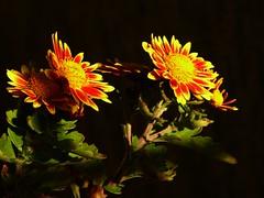 Chrysanthemum X Morifolium (fotomie2009) Tags: chrysanthemum x morifolium crisantemo flower fiore flora ngc