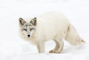 Acrtic Fox-8156 (ChadBarry) Tags: parcomega arcticfox fox mammal mammals winter