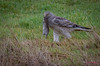 Dinner is Served (Eric_Z) Tags: northernharrier male meal dinner vole hawk delta britishcolumbia canada canoneos7dmkii ef100400mmf4556lisiiusm