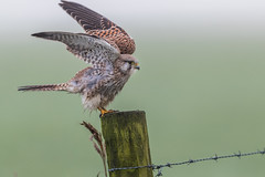 R17_1751 (ronald groenendijk) Tags: cronaldgroenendijk 2017 falcotinnunculus rgflickrrg animal bird birds birdsofprey groenendijk holland kestrel nature natuur natuurfotografie netherlands outdoor ronaldgroenendijk roofvogels torenvalk vogel vogels wildlife