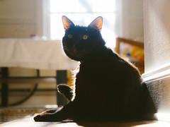 ollie sun (kc_tinari) Tags: cat cats kitty kitties feline sunbathing pets home personal