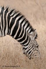 Zebra (Equus quagga) (Hernan Linetzky Mc-Manus) Tags: africa manyeleti linetzky mammal wild natgeo honeyguide 5five zebra southafrica safari savannah savana sudafrica animal ng camp limpopo big5 nikon nature bird animals wildlifephotography pilanesberg nikonphotography photos wildanimals africannature naturaleza salvaje