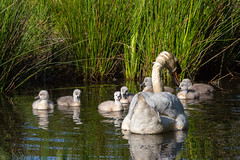 Famille cygne (CCphoto12) Tags: bassindarcachon cygnetuberculé leteich oiseau